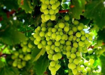 Продам виноградники 91 Га в Абинском районе.
