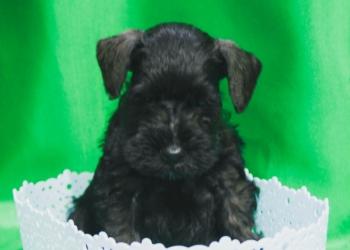 Цвергшнауцера черного щенки. Продажа