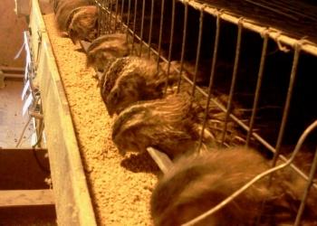 Живые перепела мясных пород