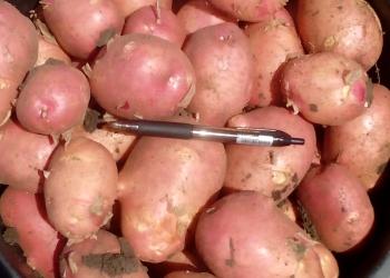 Картофель молодой оптом 5+ из кфх