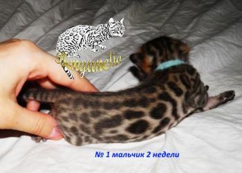 Бенгальские котята от питомника Benganelio