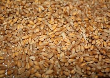 Продаём пшеница фуражная 3000т.