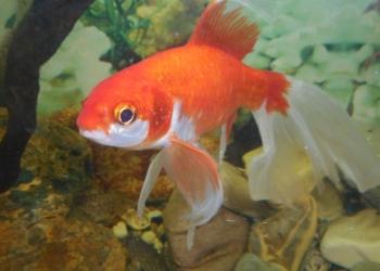 золотые рыбы 3 шт