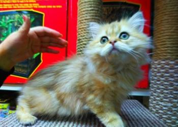 Золотая шиншилла,котик