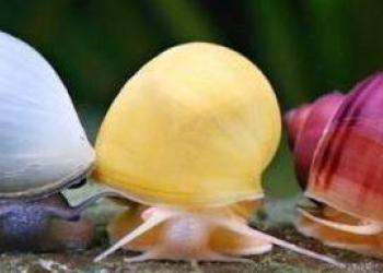 Улитка ампулярия голубая и другие разноцветные улитки