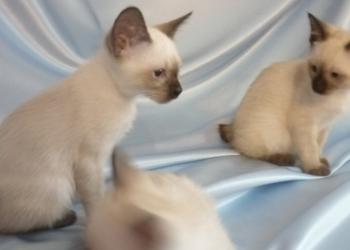 Кошки меконги