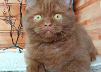 Британские котята интересных окрасов от титулованных родителей.