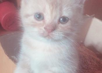 Продам шотландских котят (дёшево)