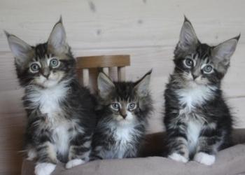 "Котята мейн-кун, помет ""Мани-Мани"""