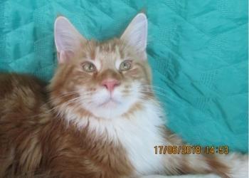 Котята мейн- кун из питомника