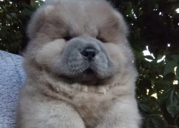 Продаются щенки чау-чау!