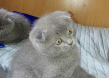 котята породы скоттиш-фолд,без документов