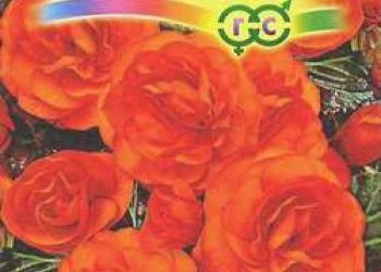 Бегония клубневая F1 НОН-СТОП Оранжевая (семена)