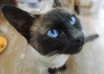 Тайская кошка в хорошие руки