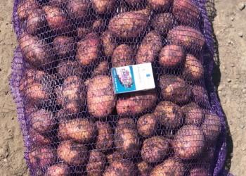 Картофель молодой оптом!