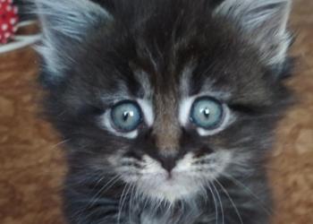 Котята мейн-кун, пушистые и озорные