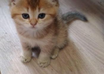 Котята - золотые британцы.