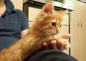 Котенок рыженький игривый