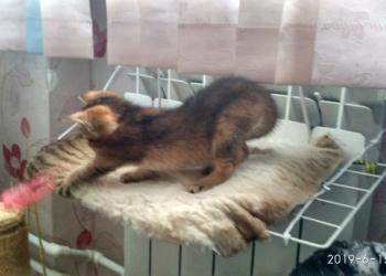 Лучший друг и подарок - ласковые  абиссинские  котята