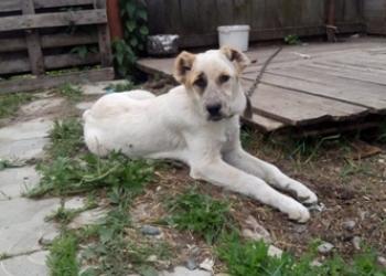 Среднеазиатская овчарка щенок