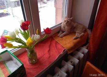 Отдам срочно кота шотландец и кошка британская Тюмень