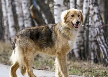 Молодой пес Дюшес ищет дом и любимых хозяев
