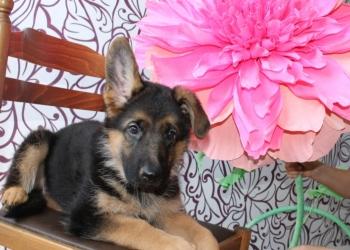 Продам щенков немецкой овчарки из Дома Инфанты