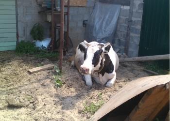 Продаю коров