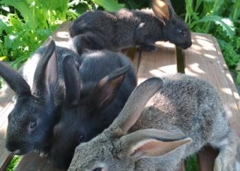 Продаю кроликов малышей