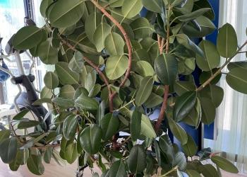 Дерево ФИКУС -высота 2,5 метра