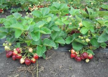 ягоды клубника домашняя