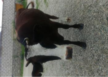 продаются 2 коровы