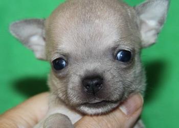 чихуахуа  щенки всегда в продаже