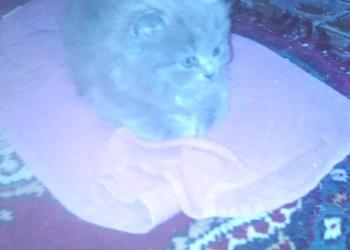 Продам длинношорстного британского котенка.