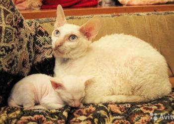 продам белую кошечку Корниш-рекс с голубыми глазами