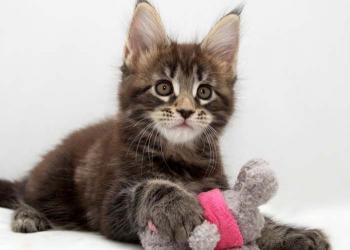 Котята мейн-кун из питомника «Gangstercat»