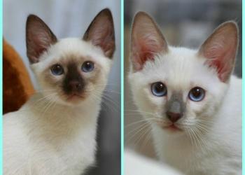 Тайские котята-мальчики. Питомник