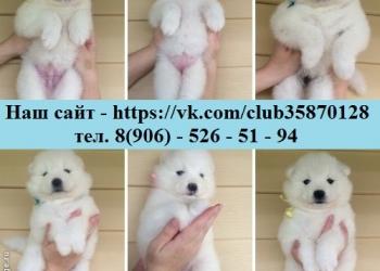 Продаю белоснежных щенков- мишек
