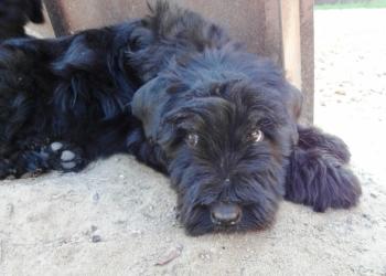 Русский черный терьер щенки 2 месяца
