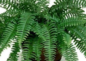 """комнатное растение - папоротник """"Нефролепис"""""""