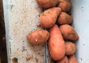 Картофель молодой оптом 5+ из КФХ 16 р.