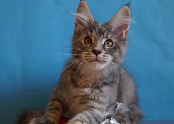 Аврора -котенок мейн кун!
