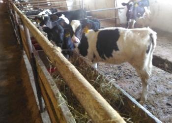 Телята мясной породы от 1-3 мес сдоставкой бесплатной до вашего подворья