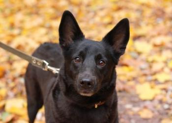 Джесси, небольшая чёрная собачка ищет дом