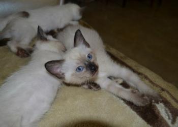 Сиамские - тайские котята - Симферополь