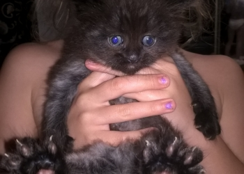 Полуперсидские котята в дар