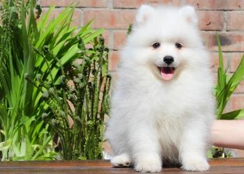 Японский шпиц, лучшие щенки от питомника Ноктюрн Догс