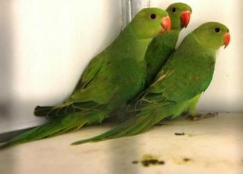 Ожиреловые попугаи