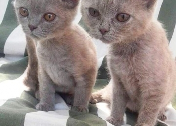Продам британских котят!
