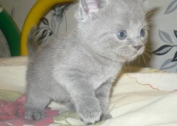 Отдам в хорошие руки британских короткошёрстных котят